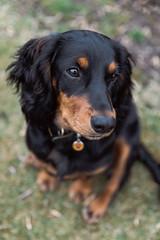 Logan (Joshua Rae) Tags: cockerspaniel puppy dog blackandtan portrait