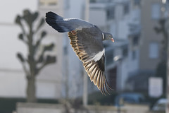 Pigeon Ramier (Wan OA) Tags: pigeon palombe ramier oiseau bird nikon d500 200500mm faune