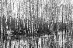 DSC_6710 (stefanh.varberg) Tags: 16mars oklången björk björkar landsbygd landskap sjö skogen spegling svartvit träd vatten översvämmning