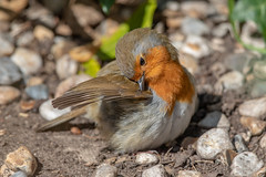 Robin (Linda Martin Photography) Tags: garden dorset wildlife bournemouth nature bird ferndown robin erithacusrubecula uk animal coth naturethroughthelens alittlebeauty ngc coth5