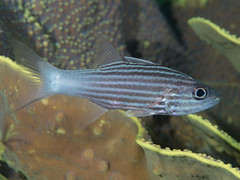 Intermediate cardinalfish (Cheilodipterus intermedius)