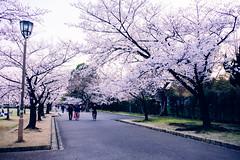 Hanami 2019 (nadiamirra) Tags: sakura japan hanami 花見 桜 日本 姫路
