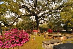 DSC_8851 (scsmitty) Tags: princegeorgewinyahchurch cemetery gravestone azaleas georgetownsc georgetown