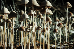 Many many mushrooms (Ramireziblog) Tags: fungus schimmel natuur nature paddenstoel paddo mushroom