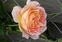 So gehst du, Jesus, williglich (amras_de) Tags: rose rosen ruža rosa ruže rozo roos arrosa ruusut rós rózsa rože rozes rozen roser róza trandafir vrtnica rossläktet gül blüte blume flor cvijet kvet blomst flower floro õis lore kukka fleur bláth virág blóm fiore flos žiedas zieds bloem blome kwiat floare ciuri flouer cvet blomma çiçek