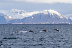 Dolphin Jumping (lycheng99) Tags: dolphin jump jumping animal wildlife iceland ocean sea snowmountain snow mountains coast reykjavík motion action swim nature landscape explore travel