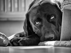 sleepy (uwe.kast) Tags: labrador labradorretriever labradorredriver bichou hund haustier dog panasonic lumix