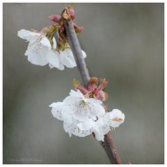 apple blossom 25/100x 2019 (sure2talk) Tags: appleblossom blossom white nikond7000 nikkor70300mmf4556afsifedvr macro closeup 100xthe2019edition 100x2019 image25100 25100x2019 shallowdof bokeh