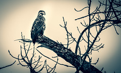 Juvenile Bald Eagle (RWGrennan) Tags: juvenile bald eagle east nassau new york ny upstate nys wildlife tree mono monochrome moody nikon d610 tamron 150600 rwgrennan rgrennan ryan grennan nature outdoors rensselaercounty blackandwhite bw