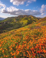 Spring has sprung (Dene' Miles) Tags: california superbloom super bloom wildflowers poppies californiapoppies usa spring lake elsinore walker canyon green hills travel tourism north america wild weather mountains color