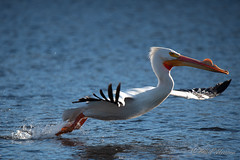 20190408-DSC_7349.jpg (GrandView Virtual, LLC - Bill Pohlmann) Tags: bird americanwhitepelican wisconsin wildlife waterfowl stcroixriver northhudsonwi