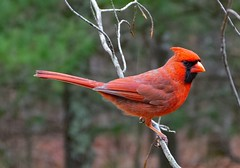 Northern Cardinal male_11Mar2019 (Bob Vuxinic) Tags: bird northerncardinal cardinaliscardinalis male rainyday cumberlandplateau crossvilletennessee 11mar2019