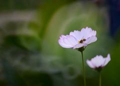 Cosmos flowers 波斯菊 (MelindaChan ^..^) Tags: macau 澳門 flower plant bokeh leaves macro chanmelmel mel melinda melindachan cosmos flowers 波斯菊