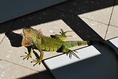 Key West Trip, December 1 to 11, 2018 0039Ri 4x6 (edgarandron - Busy!) Tags: keywest casamarina lizard lizards iguana