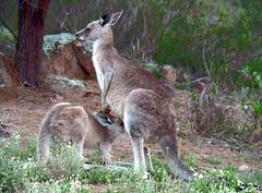 Still drinking from mum (651412) Tags: kangaroo joey feeding australia wildlife nature