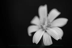 The brooch (ILO DESIGNS) Tags: flora flowers blackandwhite monochrome closeup macro macrofotografía petals pétalos nature naturaleza fineart sigma15028 d3300 detail
