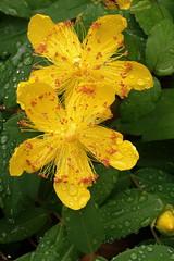 IMGP0982f_DxO (bertrand.garrigou) Tags: flower fleur green yellow rain afterrain pentax pentaxart k3 smc50mmm dxo