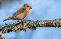 DSC2928  Crossbill... (Jeff Lack Wildlife&Nature) Tags: crossbill crossbills redcrossbill commoncrossbill birds avian animal animals wildlife wildbirds woodlands wildlifephotography jefflackphotography forest forestofdean forests forestry pineforest pines trees countryside nature