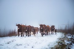 Here comes the cowvalry 2018 (Ingeborg Ruyken) Tags: sneeuw morning empel mist instagram 500pxs fog natuurfotografie ochtend flickr snow