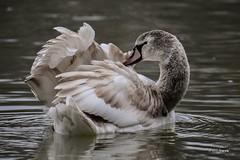 """""""L'heure de la toilette"""" (leguen.maxime) Tags: cygne jeune toilette eau rivière fleuve loire loiret plume couleur nature oiseau"""