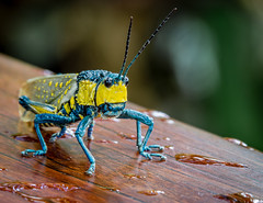 Grasshopper (bransch.photography) Tags: chitin burma sitting close color closeup yellow wings wildlife insects insect outdoor nature animal myanmar mountpopa creature colorful beautiful macro locust grasshopper hopper head grasshoppers fauna antenna eyes detail