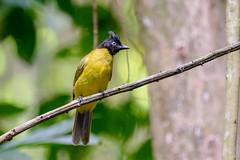 Black-crested Bulbul....Thailande (geolis06) Tags: geolis06 asia asie thaïlande kaengkrachannationalpark nature rainforest forêt forest nikon nikond7200 sigma150600mmf563contemporary bulbulàhuppenoire blackcrestedbulbul parcnational pycnonotusflaviventris thailande bird oiseau