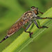 Robber Fly - Efferia species, Woodbury Wildlife Management Area, Brittons Neck, South Carolina