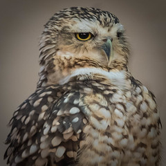 Do I look like I am kidding? (Valérie C) Tags: bird owl portrait nature animal