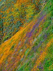 Purple Hill (mutovkin) Tags: 2019 california flowers g9 hills lumix lumixg9 panasonic panasonicg9 poppies superbloom colorful spring wildflowers