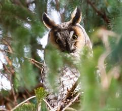 Long-Eared Owl (swmartz) Tags: nikon nature newjersey outdoors wildlife birds owls 2019 march 200500mm owl longeared