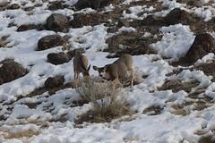 IMG_0598 (ah7925) Tags: deer yellowstone national park wildlife animal
