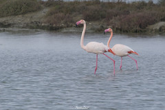 Fenicotteri (Francesca Murroni ┃Wildlife Photographer) Tags: fenicotteri phoenicopterusroseus greaterflamingo flamingos phoenicopteridae birds ornithology birdwatching animals nature pond outdoors fauna wildlifephotography wildlife water uccelli animali fotografianaturalistica sulcis sardegna