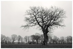 Oak Tree North Side. (Boudewijn Olthof) Tags: oak tree engishoak trees landscape nature countryside bw black white dutch netherlands holland nikon boudewijnolthof eik eiche chêne drenthe north