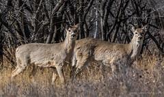 Pair of Mule Deer (Iggythump) Tags: policepointpark medicinehat southernalberta southsaskatchewanriver spring muledeer robin