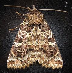 Safida druciaria (Birdernaturalist) Tags: catocalinae costarica erebidae lepidoptera moth noctuidae richhoyer