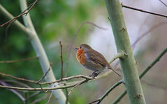Winter Robin (ekaterina alexander) Tags: winter tree branch european bird robin redbreast erithacus rubecula england sussex wild birds ekaterina alexander nature photography pictures