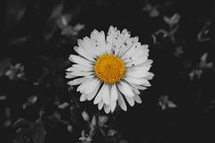 Flower (Vida Péter) Tags: natural wesen vegetable pflanze flower blume black schwarz white weis springtime vorfrühling természet növény virág fekete fehér tavasz photo photography canon eos100d
