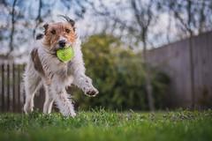 2019-04-03_udvar_08 (vond.one) Tags: vond g80 g85 panasonic lumix természet nature állat animal kutya dog