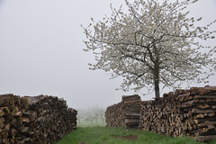 Brouillard printanier (Croc'odile67) Tags: nikon d3300 sigma contemporary 18200dcoshsmc paysage landscape brouillard fog arbre tree floraison printemps spring fruhling bois