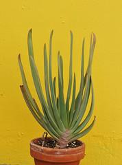 Aloe plicatilis (Todd Boland) Tags: aloe succulents