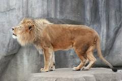 Lion 4 (Emily K P) Tags: milwaukeecountyzoo zoo animal wildlife bigcat cat feline male lion tan yellow grey gray rock roar vocalize