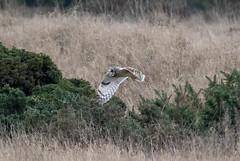Short Eared Owl (Liam Waddell) Tags: bird bogside sssi irvine ayrshire scotland sky