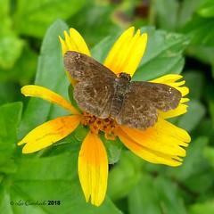 Staphylus caribbea (LPJC) Tags: panama 2018 lpjc staphyluscaribbea skipper butterfly quebradagarza