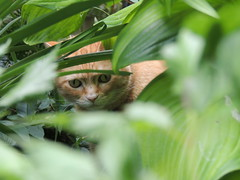 Biscuit in the jungle (EZRyderx47) Tags: chat cat animal jungle mignon cute drole funny