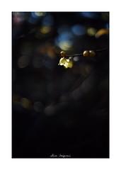 2019/1/14 - 1/9 photo by shin ikegami. - SONY ILCE‑7M2 / Voigtlander NOKTON CLASSIC 40mm f1.4 SC VM (shin ikegami) Tags: 蝋梅 flower 花 マクロ macro 井の頭公園 吉祥寺 winter 冬 asia sony ilce7m2 sonyilce7m2 s7ii 40mm voigtlander nokton nokton40mmf14sc tokyo photo photographer 単焦点 iso800 ndfilter light shadow 自然 nature 玉ボケ bokeh depthoffield naturephotography art photography japan earth