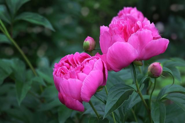 Обои макро, розовый, пионы картинки на рабочий стол, раздел цветы - скачать