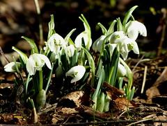Gestern den Frühling gefunden :-D (isajachevalier) Tags: schneeglöckchen blume blüte pflanze garten natur panasonicdmcfz150