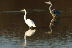 Two birds (Teruhide Tomori) Tags: nature bird wild kyoto japan japon hirosawanoike pond winter greategret ダイサギ 野鳥 鳥 広沢池 京都 冬 野生 動物 自然 日本 greyheron