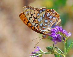 Aphrodite Fritillary (Laurie Paulik) Tags: aphroditefritillaries butterflies colorado devilsbackboneopenspace fritillaries