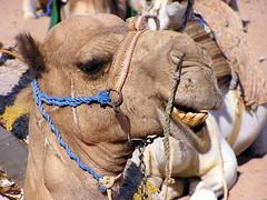 A little kiss to the camel ? (patouettiti) Tags: égypte egypt camel dromadaire kiss bisou désert afrique africa